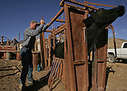 (WILD HORSE GATHE NEVADA) Cold Springs, Nevada Oct. 24, 2006 Jake Casey (Cq) brands one of the  Clan Alpine Ranch's cow on  October 26, 2006. The Ranch is located in central Nevada. (Suarez, Essdras M/ Globe staff)/ Travel