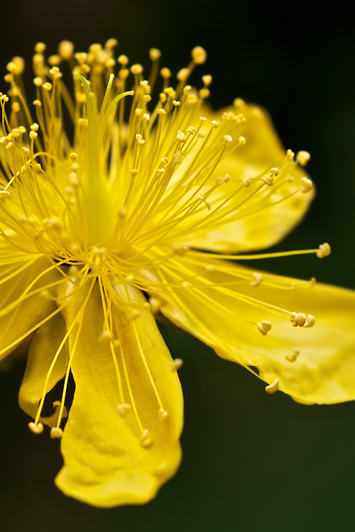 Yellow Flower Explosion