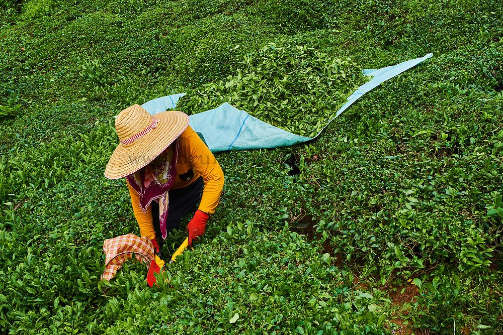 Turquie, la région de la Mer Noire, Anatolie, plantation du thé sur les collines dans la région de Trabzon // Turkey, the Black Sea region, tea plantation in the hills near Trabzon in Anatolia