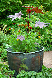 Ricinus communis with rudbeckias in a copper pot at Glebe Cottage. Castor oil plant