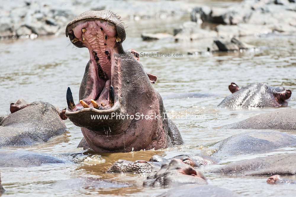 A herd of hippopotamus in a river at Serengeti National Park, Tanzania