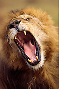 Big yawn, male lion, Serengeti National Park Tanzania