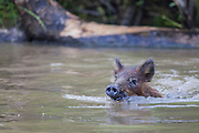 Pigs can't fly, but they can certainly swim!  A juvenile Eurasian Wild Boar, wades through a swamp in Louisiana. wild boar, wades through a swamp in Louisiana.