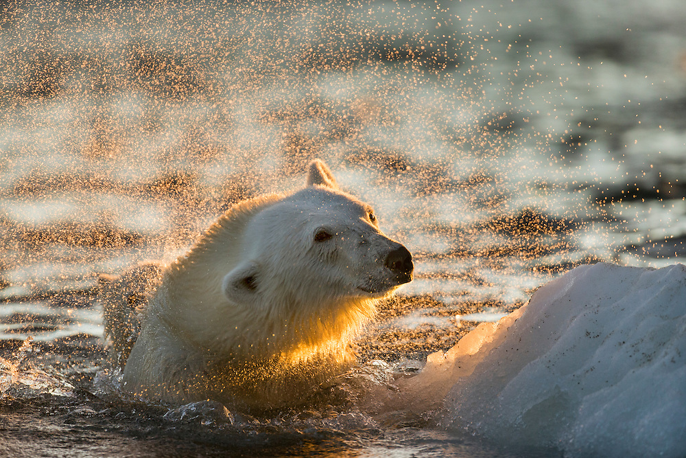Canada, Nunavut Territory, Repulse Bay, Polar Bear (Ursus maritimus) shakes off water from boat while swimming in sea ice near Harbour Islands