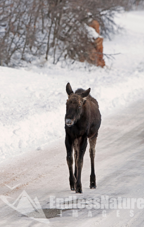 A young Moose travels down a plowed road because of heavy recent snows.