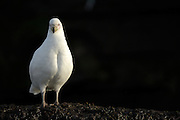 Snowy Sheathbill (Chionis alba) also known as a Pale-faced sheathbill or Paddy | Weißgesicht Seidenschnabel