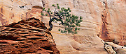 Pine tree and sandstone cliff, Zion National Park, Utah