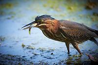 Green Heron Gone Fishing at a Pond in the Sourland Mountain Preserve. Image taken with a Nikon D4 and 300 mm f/2.8 VR len + TC-E III 20 teleconverter (ISO 800, 600 mm, f/5.6, 1/500 sec).