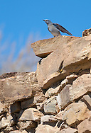 Bluebirds nesting at Native ruins, Sandwash Basin, Colorado,USA, (Photo: Isobel Springett.)