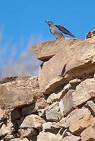 Bluebirds nesting at Native ruins, Sandwash Basin, Colorado,USA, (Photo: Isobel Springett.)