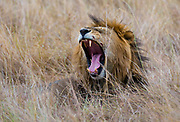 Male lion in the long grass of Maasai Mara, Kenya.