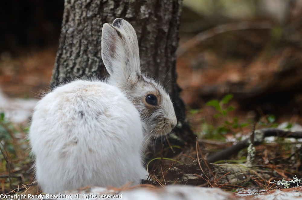 Snowshoe hare starting to change colors in spring. Yaak Valley in the Purcell Mountains, northwest Montana.