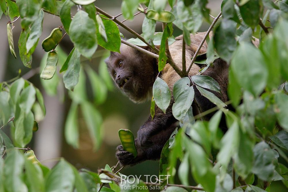 Brown Capuchin Monkey (Cebus apella), Amazon, Mato Grosso, Brazil