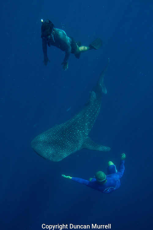 Whale shark (Rhincodon typus) with guest and cook from the banca tour boat, Honda Bay, Palawan, the Philppines