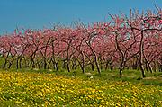 Peach orchard in spring<br />Grimsby<br />Ontario<br />Canada