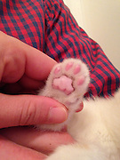 "Kitten Found with Paws Frozen to Fence Seeks New Home<br />  <br /> A homeless kitten found in Dorchester, Mass. with his front paws frozen to the metal wire of a neighborhood fence is on the mend and will soon be placed for adoption,<br />  <br /> A good Samaritan, who heard the kitten's cries from inside his house on March 7, used warm water to free the frightened feline's legs from the fence before rushing him to the Emergency & Critical Care Unit at the MSPCA's Angell Animal Medical Center in Boston.<br />  <br /> Hypothermic, scared and in pain<br /> Angell's Dr. Meagan Rock was first on the scene.  ""This little guy was extremely lucky to have a kind stranger step in and help because his situation rendered him defenseless against the cold and predators,"" she said.  ""And by the time he got to us he was hypothermic and his legs were swollen.""<br />  <br /> The team actively warmed the kitten using blankets, convection heat and warm water bottles, and administered pain medicine to sooth his sore paws.  He spent the night in the hospital and is continuing his recovery in Dr. Rock's home.  She expects his blistered front paws will heal completely in time.<br />  <br /> Dr. Rock named the kitten ""Ralphie"" and will soon bring him back to the MSPCA, where he will be neutered, immunized and microchipped before he is placed for adoption.<br /> <br /> Photo shows: Close up photo reveals the blisters on Ralphies front paws caused by skin adhering to the fence<br /> ©Exclusivepix Media"