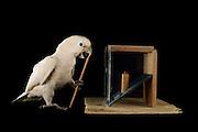 [captive] Goffin's cockatoo (Cacatua goffiniana). In this experiment, the cockatoo learns to use a tool. It needs to poke a treat (peanut) in a box using a stick until the treat falls out off the box. Handling of the stick requires coordination of foot and beak. Goffin's cockatoos or Tanimbar Corellas are endemic to the Tanimbar archipelago in Indonesia. Research on their cognitive abilities is done in the Goffin Lab (Lower Austria) by Dr. Alice M. I. Auersperg. Sequence 8/10. | Goffinkakadu (Cacatua goffiniana). In diesem Versuch muss der Goffinkakadu erlernen, mit einem Stock nach einer Belohnung (Erdnuss) zu stochern, um sie zum Rausfallen aus einer ansonsten unzugänglichen Box zu bringen. Die Handhabung des Stöckchens verlangt Koordination von Fuß und Schnabel. Der Kakadu lernt hierbei den Werkzeuggebrauch. Der Goffinkakadu ist eine Papageienart und kommt in freier Wildbahn ausschließlich auf der indonesischen Inselgruppe Tanimbar vor. Forschung zu kognitiven Fähigkeiten des Goffinkakadus wird im Goffin Lab (Niederösterreich) von Dr. Alice M. I. Auersperg durchgeführt. Sequenz 8/10.