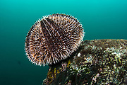 White sea urchin (Tripneustes depressus)<br /> Tower Island<br /> Galapagos<br /> Pacific Ocean<br /> Ecuador, South America