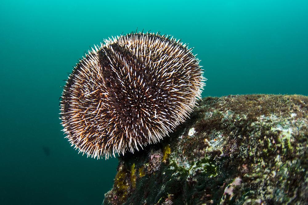 White sea urchin (Tripneustes depressus)<br /> Tower Island<br /> Galapagos<br /> Pacific Ocean<br /> Ecuador, South America