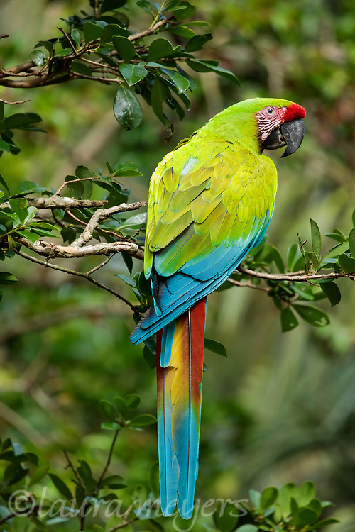 Great Green Macaw on branch on tree photographed in Costa Rica.