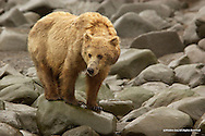 Brown Bear<br />