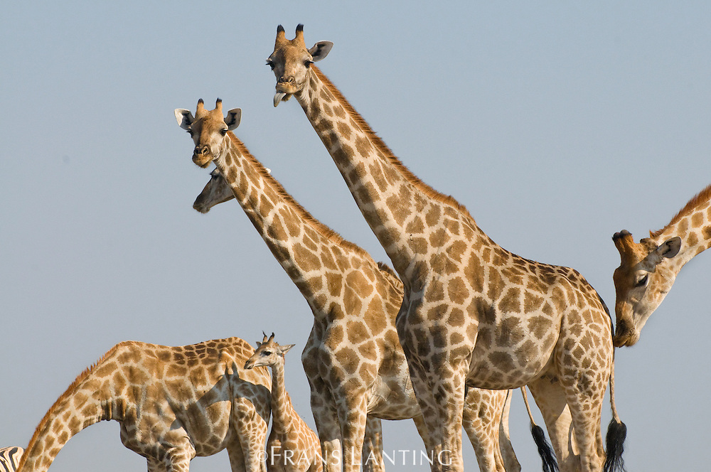 Giraffes at waterhole, Giraffa camelopardalis, Etosha National Park, Namibia
