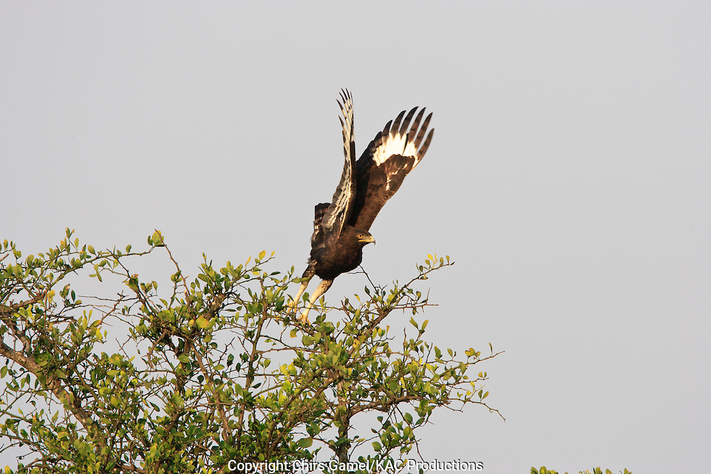 Long-crested Eagle (Lophaetus occipitalis) taking off from the top of an acacia tree, Serengeti national Park, Tanzania, Africa; bird of prey; carnivore; flying
