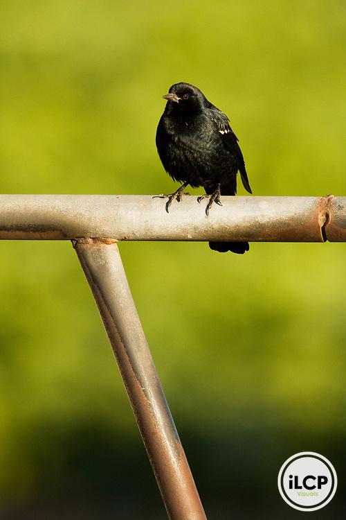 Tricolored Blackbird (Agelaius tricolor) male, Elkhorn Slough, Monterey Bay, California