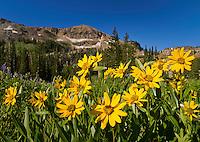Yellow Balsomroot wildflowers blooming in Albion Basin in Little Cottonwood Canyon near Salt Lake City, Utah.