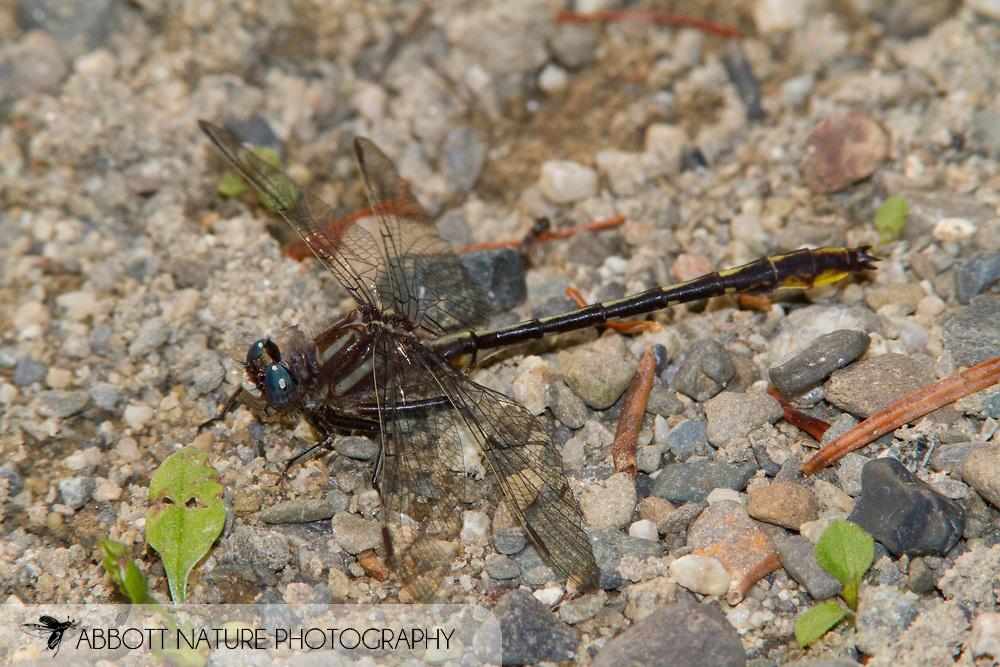 Lancet Clubtail (Phanogomphus exilis) - male<br /> MAINE: Penobscot Co.<br /> Stream at Weir Pond Road S of Lee Road<br /> 20.June.2010<br /> J.C. Abbott #2445