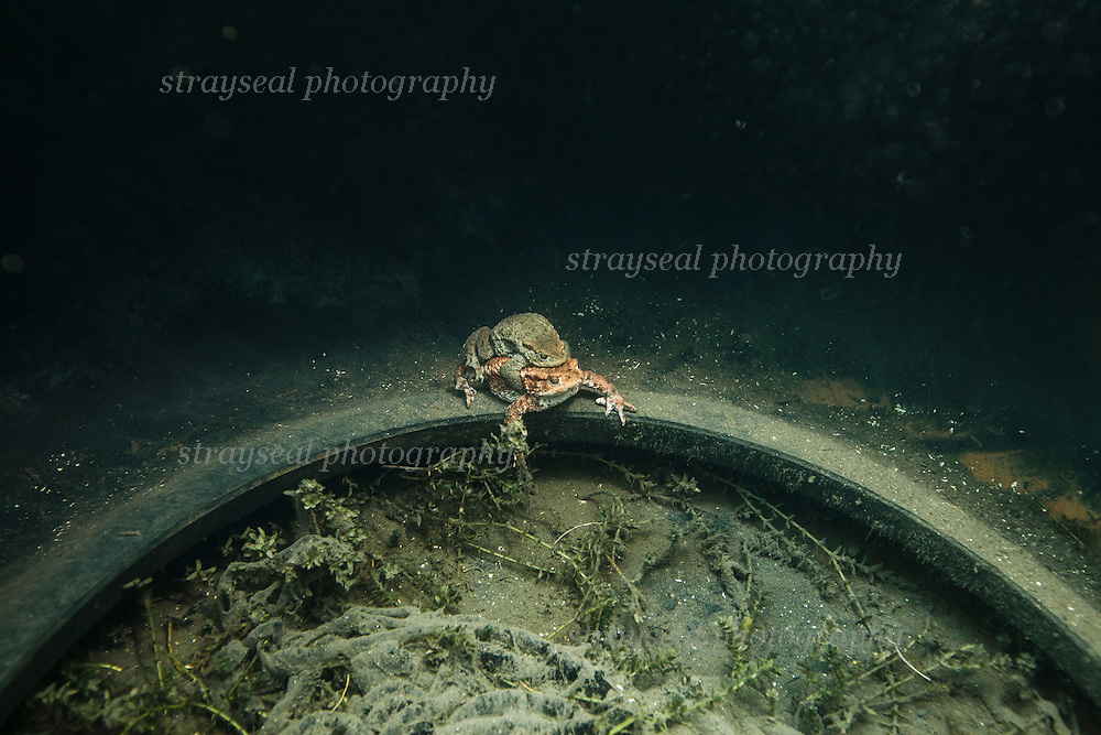 Two mating toads clinging together underwater in a discarded tyre