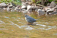 The American Dipper is in the river all the time hunting aquatic insects.