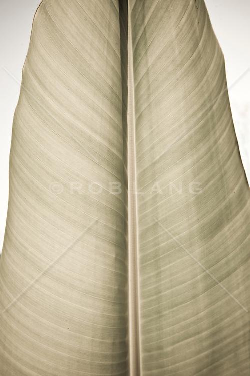 Detail of a banana leaf