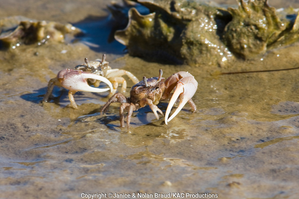 Fiddler Crabs on the beach at St. George Island State Park off the Gulf Coast of Florida.