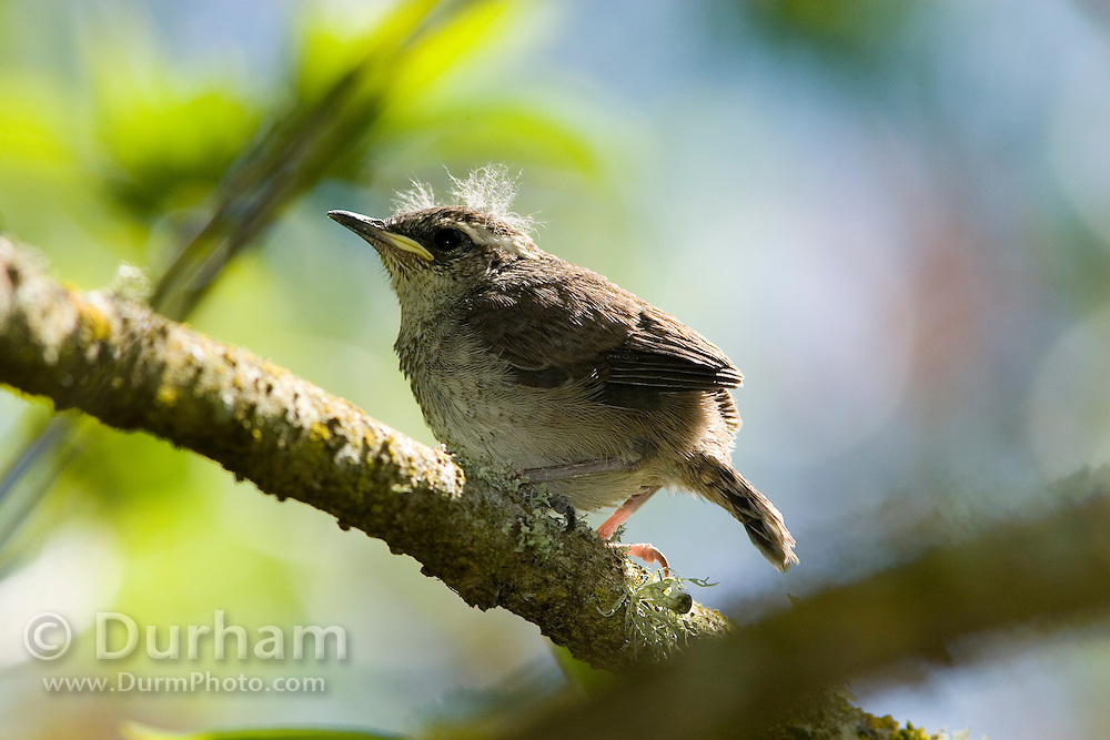A Bewick's wren (Thryomanes bewickii) juvenile freshly emerged from the nest, awaiting food from its parents.