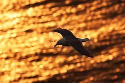 Herring gull (Larus argentatus) in midnight sun, Hornøya, Vardø, Norway