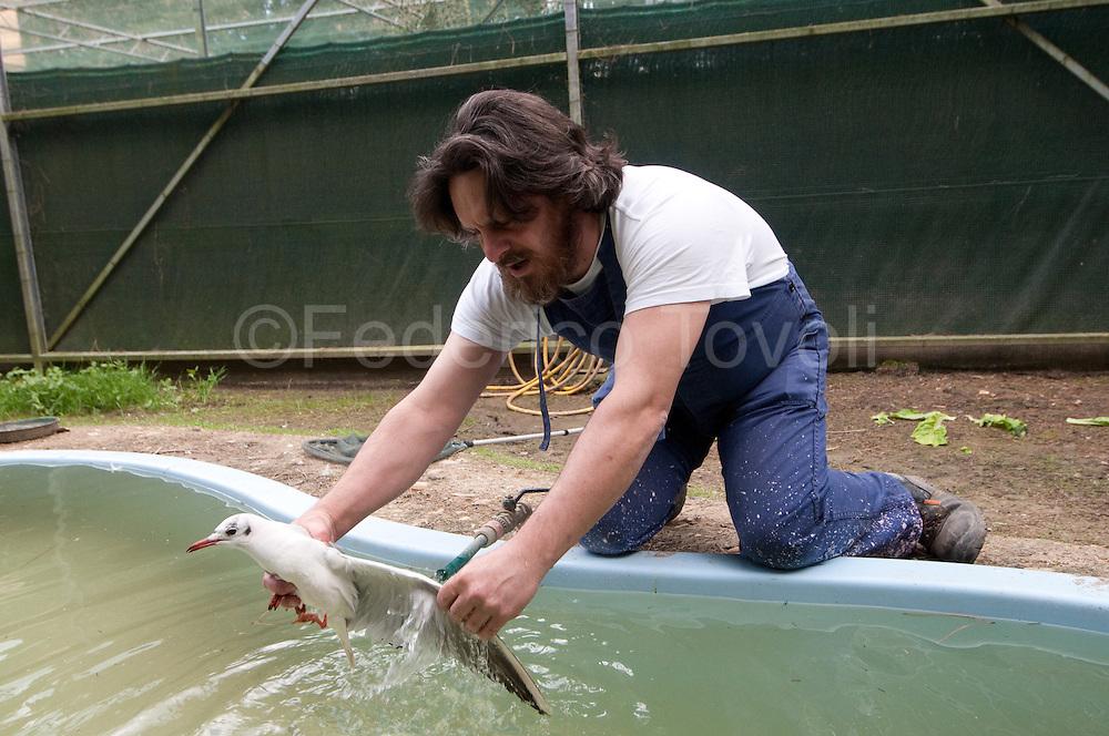 Dr. Gianluca Bedini director of CRUMA Livorno controls the common gull plumage was