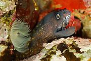 Mediterranean moray (Muraena helena) and cleaning Shrimp (Lysmata seticaudata) | Mittelmeer-Muräne (Muraena helena)