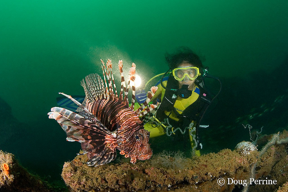 diver and red lionfish, firefish, turkeyfish, or butterfly cod, Pterois volitans, on the wreck of the Seian Maru, a Japanese cargo vessel sunk by Allied air strike on Nov. 19, 1944; the wreck lies on its port side at a depth of 25 m near Alava Pier in Olongapo Harbor, Subic Bay, Philippines; MR 379