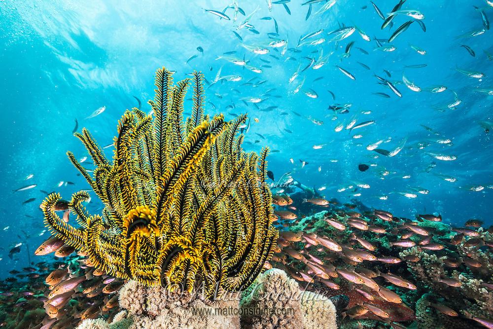 The Crinoid is an animal but looks like a plant. (Photo by Underwater Photographer Matt Considine)