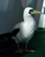 A Masked Booby decided to spend the night on the forward deck of the MV World Odyssey. Image taken with a Fuji X-T1 camera and 35 mm f/1.4 lens (ISO 1600, 35 mm, f/1.4, 1/60 sec). Topaz Define was used in post-processing to remove some noise. I didn't want to use a flash and night-blind the bird.