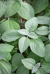 Plectranthus argentatus 'Silver Shield'