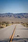 A Desert Tortoise crosses the main road crossing thru Joshua Tree National Park in Southern California.