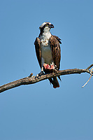 Osprey (Pandion haliaetus) feeding on a fish, Wellington, Florida, USA   Photo: Peter Llewellyn