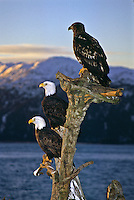 Mature and immature Bald Eagles (Haliaeetus leucocephalus) on a old tree stump at sunrise.  Homer Spit, Alaska.