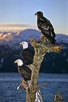 Mature and immature Bald Eagles (Haliaeetus leucocephalus) on a old tree stump at sunrise.  Homer Spit, Alaska.
