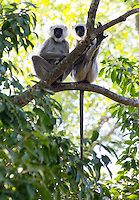A pair of Nepal Grey Langurs (Semnopithecus schistaceus) sitting in a tree, Bardia National Park, Nepal