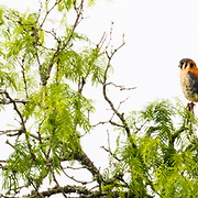 An American Kestrel sits looking for prey in the field below its Mesquite tree in Texas.
