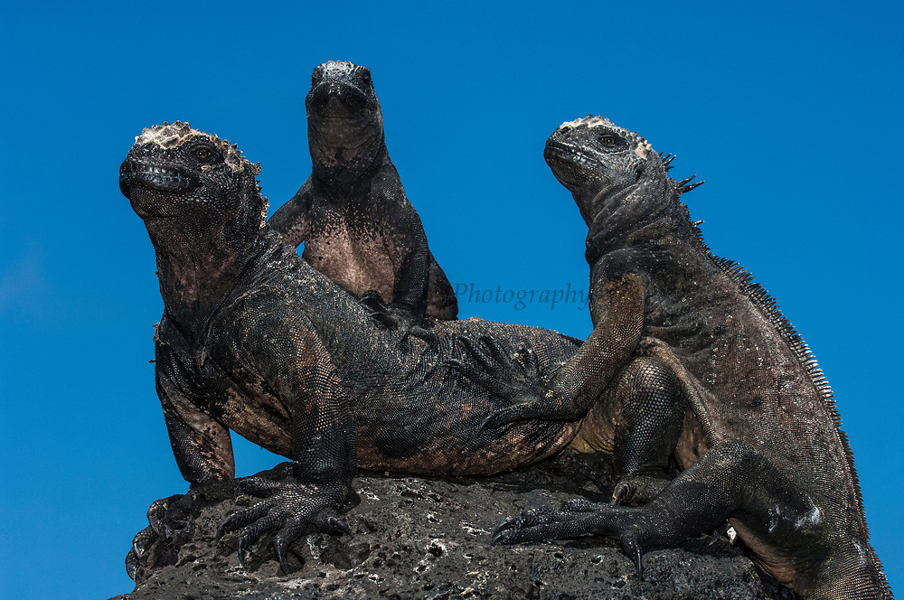 Marine Iguanas (Amblyrhynchus cristatus)<br /> Puerto Ayora, Santa Cruz Island, GALAPAGOS ISLANDS<br /> ECUADOR.  South America<br /> ENDEMIC TO THE ISLANDS<br /> These are the only true marine lizards in the world. Although not truely social they are highly gregarious, often spending cool nights in tight clusters. As the sun rizes they can be seen sunning themselves on the rocks to heat up before going into the sea to feed. Their black coloration helps them to absorb the sun's energy and to camourflage on the lava rocks.