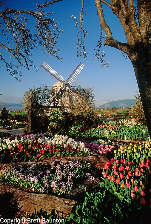 Skagit Valley Tulips, Roozengarden, Washington